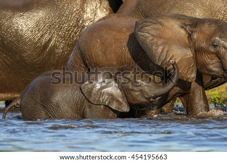African elephant playing and drinking water in river, Botswana #454195663
