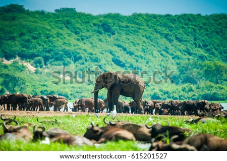 African Elephant. Queen Elizabeth National Park. Uganda