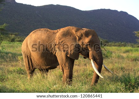 African elephant, Samburu National Reserve