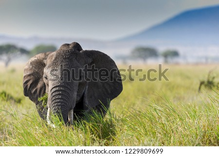 African elephant seen during wildlife Safari in Serengeti national park, Tanzania.