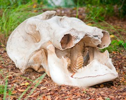 African elephant skull