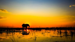 African elephant standing in river at sunset