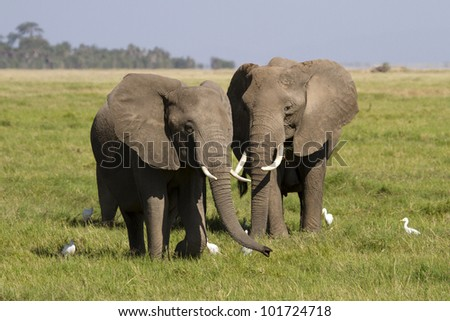African elephant surrounded by cattle egrets