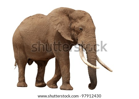 African elephant with huge tusks isolated on white background