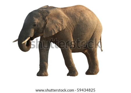 African elephant with it's trunk in mouth - isolated - stock photo