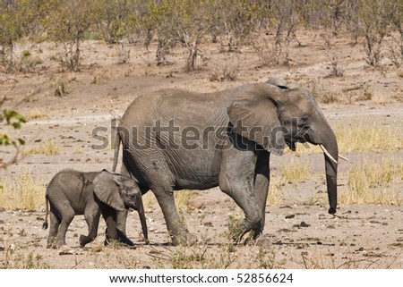 African elephant with its baby in Kruger National Park, South Africa