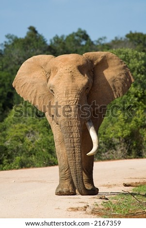 African Elephant with one tusk walking down the road