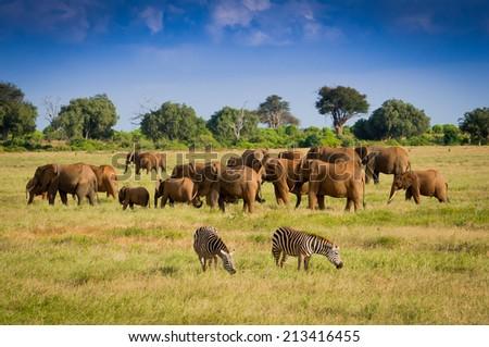 African elephants #213416455