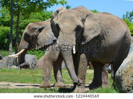 African elephants are elephants of the genus Loxodonta. The genus consists of two extant species: the African bush elephant, L. africana, and the smaller African forest elephant, stock photo