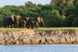 African Elephants by the Chobe River in Botswana