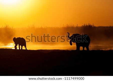 African elephants drinking and playing along the Linyanti region of the Chobe Nature Reserve in Botswana which lies next to Caprivi strip of Namibia.