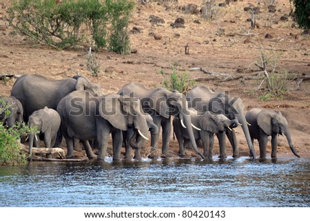 African Elephants drinking at the Chobe River