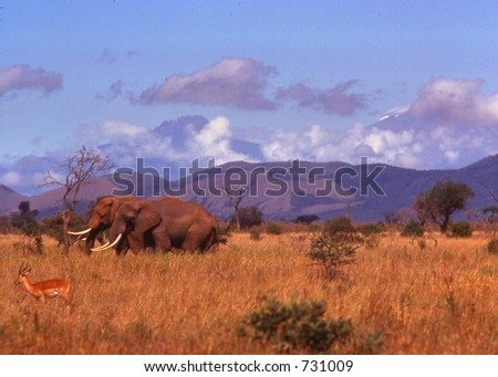 African elephants forage under the clouds of  majestic Kilimanjaro