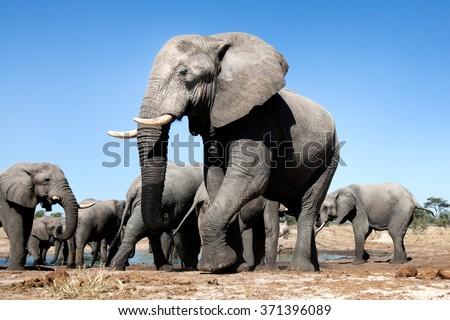 African Elephants in Botswana #371396089