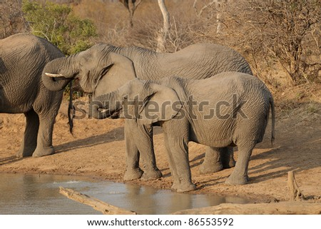 African Elephants in Kruger National Park, South Africa