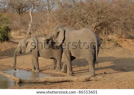 African Elephants in Kruger National Park, South Africa