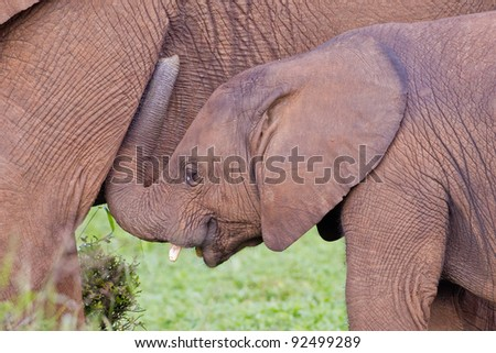 African elephants (loxodonta africana) at the Addo Elephant Park in South Africa.