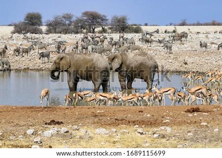 African elephants (Loxodonta africana) at the waterhole - Namibia Africa  Stock photo ©