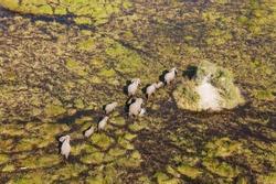 African Elephants (Loxodonta africana), breeding herd, roaming in a freshwater marsh, aerial view, Okavango Delta, Botswana