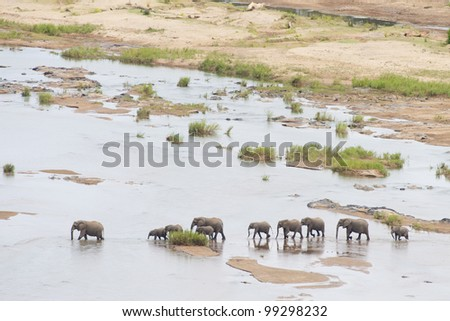 African Elephants (Loxodonta africana) crossing the Olifants River, South Africa