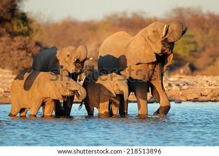 African elephants Loxodonta africana drinking water Etosha National Park Namibia