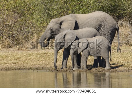 African Elephants (Loxodonta africana) drinking water, South Africa