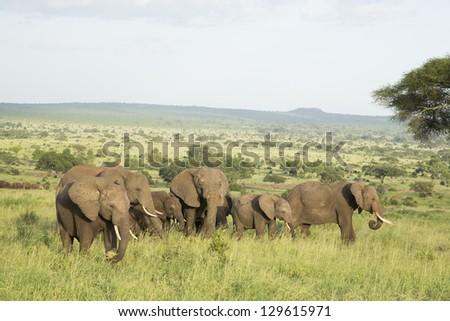 African Elephants (Loxodonta africana) in Tarangire National Park in Tanzania