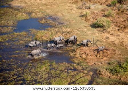 African Elephants (Loxodonta africana), in the freshwater marsh, aerial view, Okavango Delta, Botswana. The Okavango Delta is home to a rich array of wildlife.
