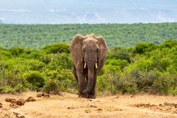African Elephants moving through the African Savanna