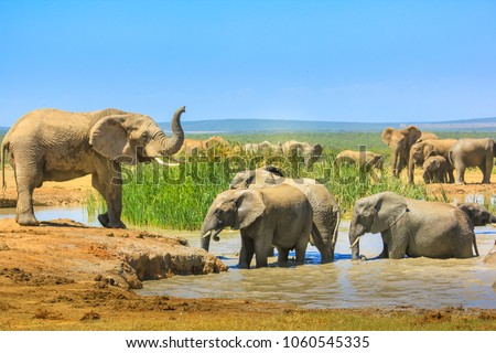African Elephants near a large pool and others inside the water that cool down with mud. Addo Elephant National Park, Eastern Cape, South Africa. Summer season in a sunny day. Stock photo ©