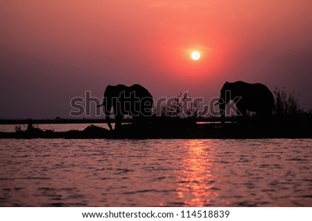 African elephants silhouetted at sunset. Lake Kariba,Zimbabwe