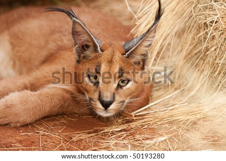 african endangered wild caracal cat resting