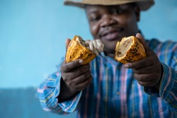 African farmer holding the harvested Cacao fruit with pulp and seeds, selective focus, Cacao fruits which is used as raw material to make chocolate