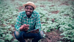 African farmer using tablet for  research sweet potato in organic farm.Agriculture or cultivation concept