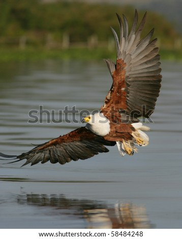 African Fish Eagle flying