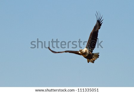 African fish eagle flying high on a blue sky background, South Africa