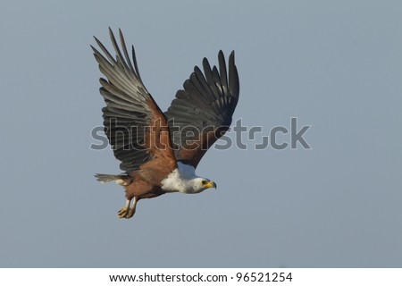 African Fish Eagle (Haliaeetus vocifer) flying, Kruger Park, South Africa