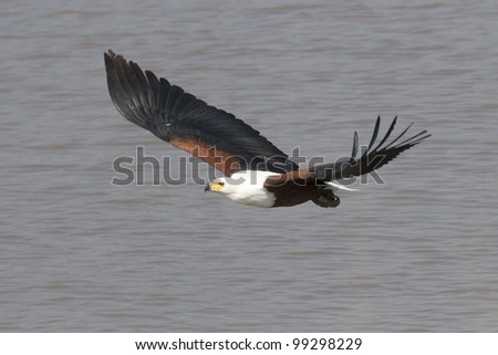 African Fish Eagle (Haliaeetus vocifer) in flight, South Africa