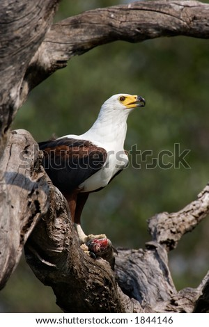 African Fish Eagle; Haliaeetus Vocifer; South Africa