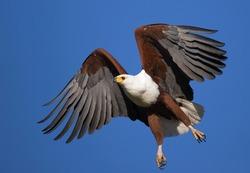 African Fish Eagle in full flight; Haliaeetus Vocifer