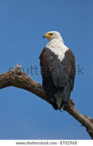 African fish-eagle perched on branch; Haliaeetus vocifer; South Africa