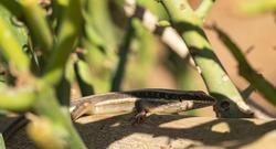 African five-lined skink (Trachylepis quinquetaeniata, formerly Mabuya quinquetaeniata).