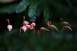 African Flamingo in the Lake in Jurong Bird Park Singapore