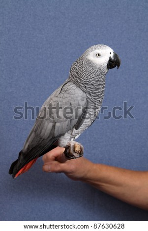 African Gray parrot tropical bird on a blue background