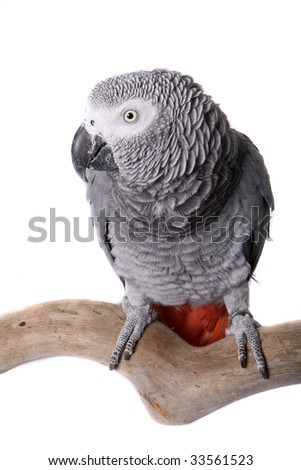African Grey; Congo, Psittacus erithacus erithacus, Principe, Bioko, Kenya, Northwest Tanzania, Southern Democratic Republic of the Congo, Northern Angola, isolated on white
