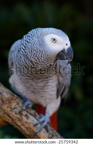 African Grey Parrot bird in Africa on tree branch - intentional limited depth of field, sharp focus on eye