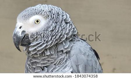 African grey parrot closeup view Stock fotó ©