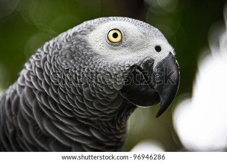 African Grey Parrot eating a peanut - Psittacus erithacus in front
