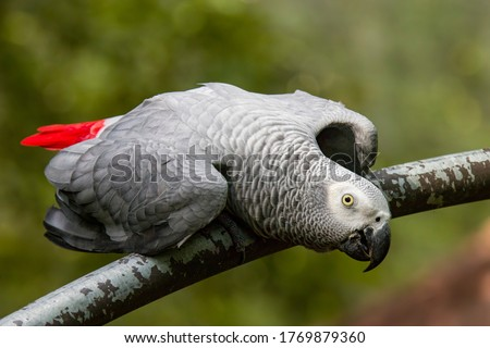 Photo of  African grey parrot(Psittacus erithacus) closeup   The grey parrot is a medium-sized, predominantly grey, black-billed parrot.  It has darker grey over the head and both wings,