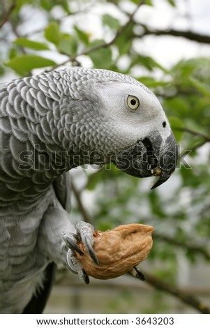 African grey parrot(Psittacus erithacus) eating the nut.